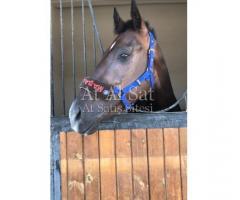 MARSTALL PİANO Sinirli ve stresli atlar için